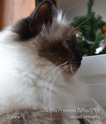 Священная бирманская кошка