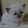 Бирманский котенок -  помет I