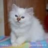 Birman kitten Latisha