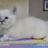 бирманский котенок Matthew