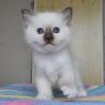 бирманский котенок Merlin