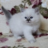 Birman kitten - girl 3