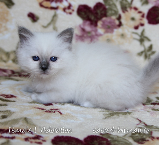 Birman kitten - girl 1