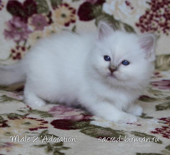 Birman kitten - boy 2