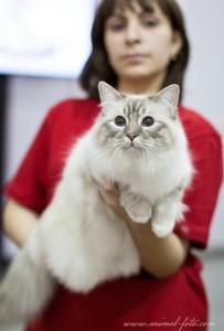 Свящанная бирманская кошка - кот Сьель