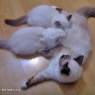 birman-kittens-eating-jpg