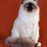Бирманская кошка Assole Adoration