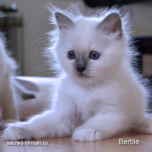 Birman kitten - blue point