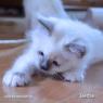 Голубой бирманский котенок