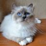 Священная бирма - голубой окрас