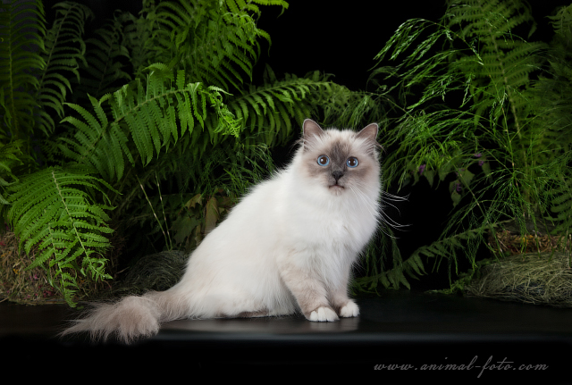 Sacred birman - blue point