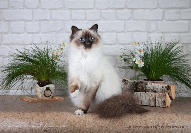 Sacred birman - seal point