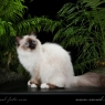 Священная бирманская кошка - сил поинт