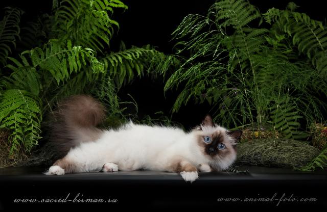 Бирманская кошка - классический окрас