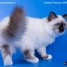 Бирманская кошка Дели
