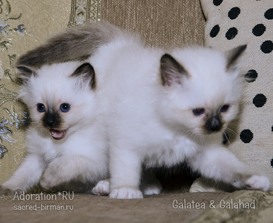 galatea & galahad