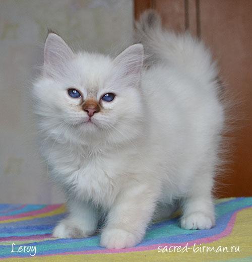 Birman kitten Leroy