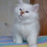 Birman kitten Leticia