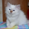 Birman kitten Latisha