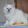 Birman kitten Latoya