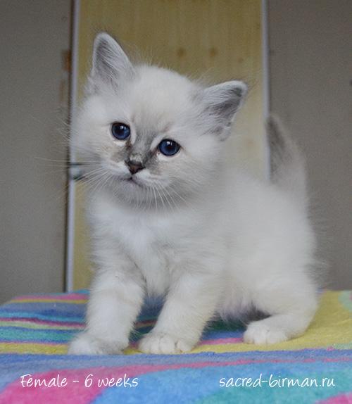 бирманский котенок Maxine