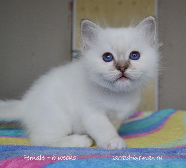 бирманский котенок Marta