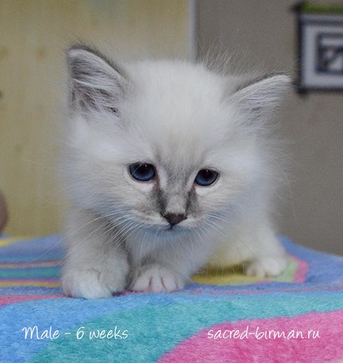 birman kitten Matthew