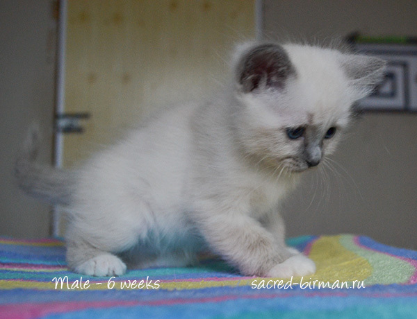birman kitten Michael