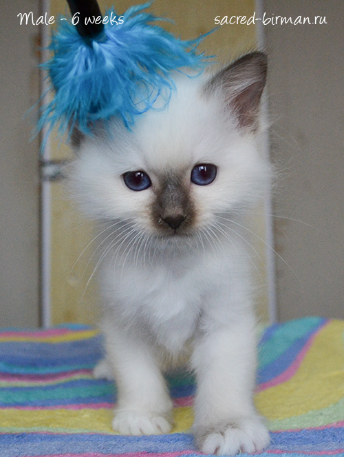 birman kitten Merlin
