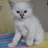birman kitten Marta