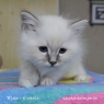 birman kitten Matthew
