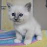 бирманский котенок Michael