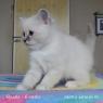 birman kitten Maxine
