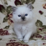 Birman kitten - girl 2