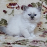 Birman kitten - boy 1