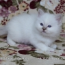 Birman kitten - boy 2