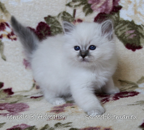 Birman kitten - girl 3