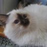 Sacred Birman cat - chocolate point