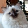 Священная бирманская кошка - шоколадная