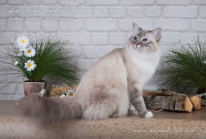 священный бирманский кот