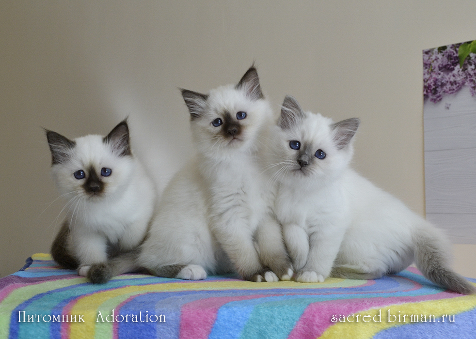 бирманские котята