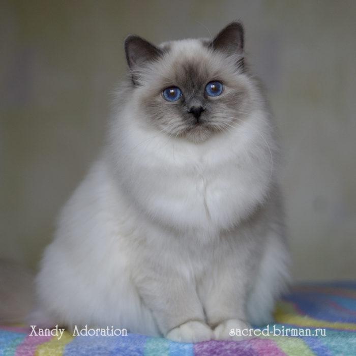 Священная бирма - голубая