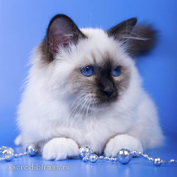 Священный бирманский котенок